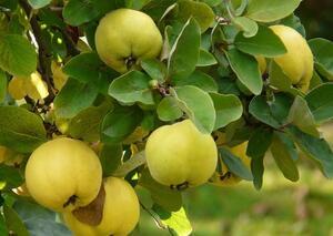 Pigwa - niedoceniany owoc z mojego ogródka | kielkismaku.pl