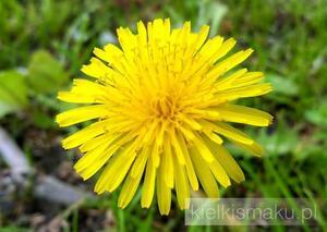 Żółtą łąkę przerabiamy na syrop - czyli jak przerobić mniszka. | kielkismaku.pl